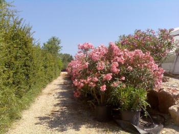 Destockage olivier palmier laurier rose grossiste - Laurier tige en pot ...