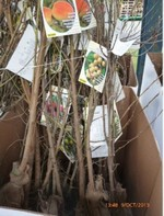 destockage arbre fruitier