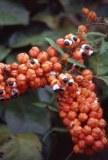 Vente de Guarana agroécologique d'Amazonie