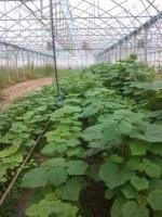Plantes Paulownias pour bois et/ou biomasse