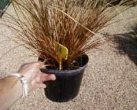 Carex Comans Bronze Form - Lot de 200 graminées