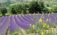 Vend huile essentielle de lavandin