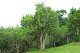 Grossiste exportateur thés pu erh et autres thés du Yunnan