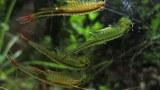 Crevettes artemias ou artemies