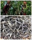 Producteur grossiste pu-erh vieil arbre à thé nouvelle récolte printemps 2018 en vrac