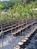 Déstockage des arbres fruitiers