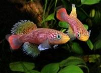 Oeufs de Killies - artemias - nothobranchius - magic fish