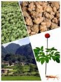 Producteur exportateur rhizomes et fleurs de panax notoginseng sanqi tianchi naturels et bio